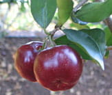 acerola cherry super-food